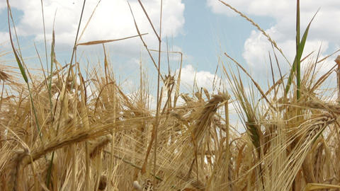 Broken wheat Stock Video Footage