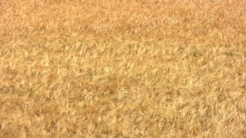 Wheat Background stock footage