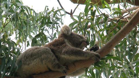 Koala in a tree eating eucalyptus leaves Stock Video Footage