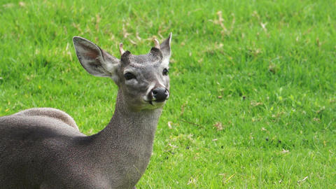 Young White Tail Deer Footage