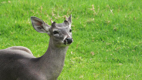 Young White Tail Deer Stock Video Footage