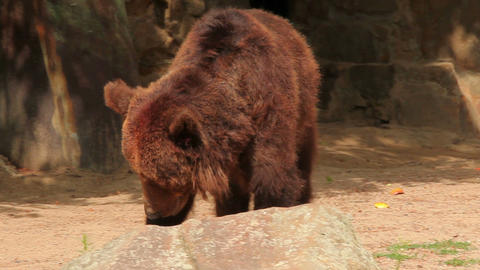 Brown bear Stock Video Footage