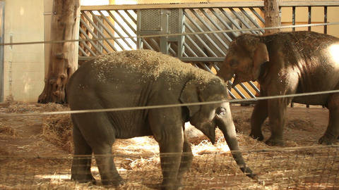 Elephants in zoo Footage