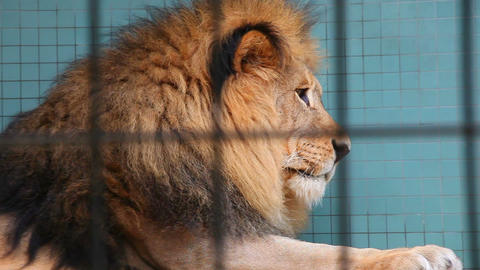 Beautiful big wild lion in zoo Stock Video Footage