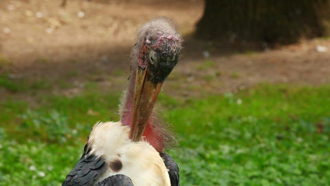African Marabou Stork stock footage