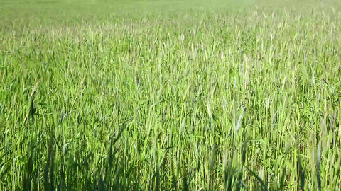 Wheat grain field Stock Video Footage