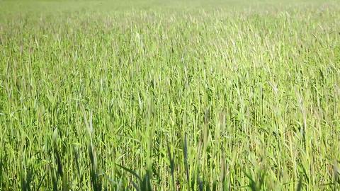Wheat grain field Stock Video Footage