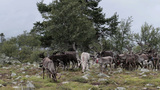 Herd Of Caribou Reindeer stock footage