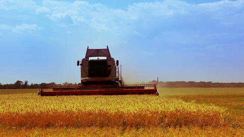 Combine is harvesting golden wheat Stock Video Footage