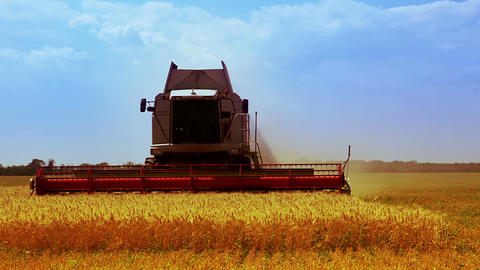 Combine is harvesting golden wheat Footage