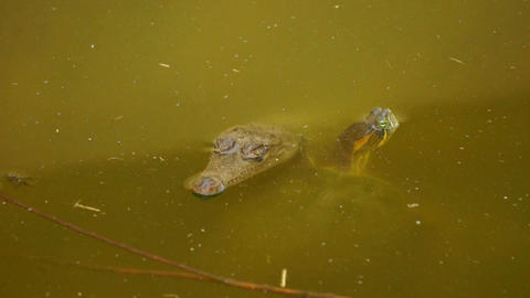 Turtle And Crocodile stock footage