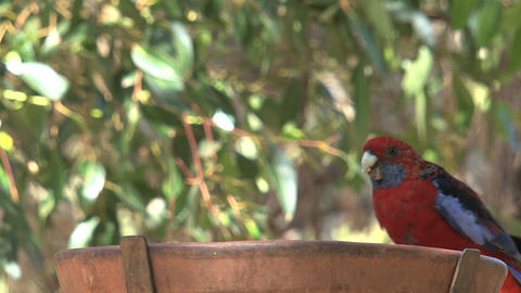 colorful red, blue and green parakeets fighting Stock Video Footage