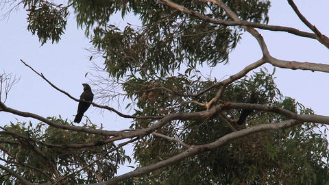 Red-tailed black cockatoos in a tree Stock Video Footage