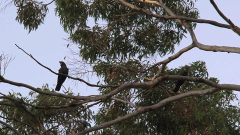 Red-tailed black cockatoos in a tree Footage