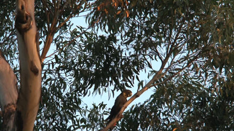 Red-tailed black cockatoo flying away Stock Video Footage