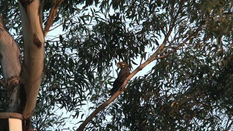 Red-tailed black cockatoo flying away Footage