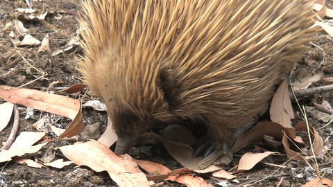 Echidna eats termites Stock Video Footage