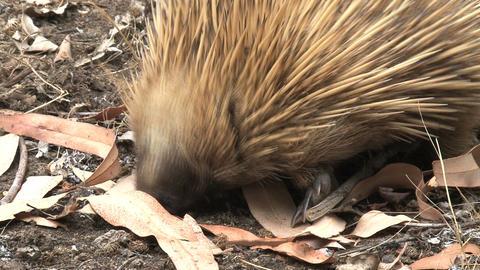 Echidna eats termites Footage