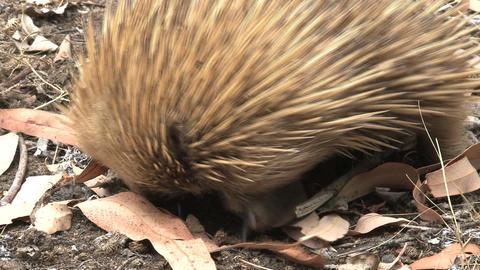Echidna eats termites Stock Video Footage