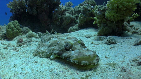 Crocodile fish on Coral Reef Stock Video Footage