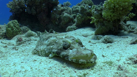 Crocodile fish on Coral Reef Footage