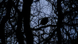 Silhouette Of A Blackbird stock footage