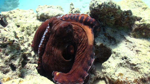 Octopus on Coral Reef Stock Video Footage