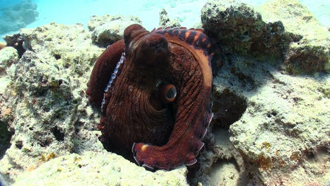 Octopus on Coral Reef Footage