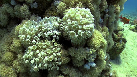 White pulse soft coral Stock Video Footage