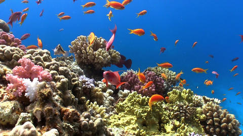 Shoal Of Red Fish On Coral Reef stock footage