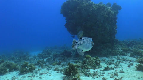 Pufferfish on Coral Reef Stock Video Footage