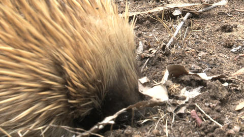 Echidna digging in the ground for ants and termite Stock Video Footage