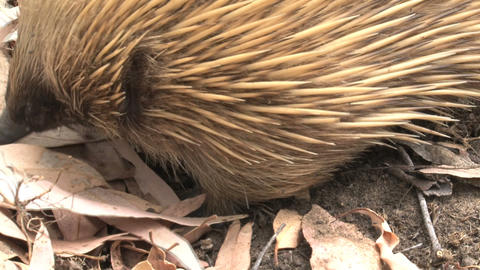 Echidna close up looking around Stock Video Footage