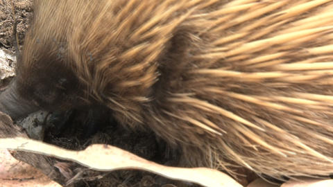 Close up from an echidna with ants and termites on Stock Video Footage