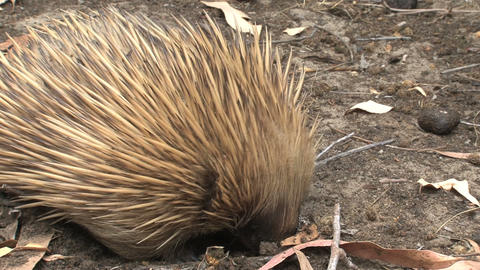 Close Up From An Echidna Eating Ants And Termites stock footage