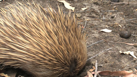 Close up from an echidna eating ants and termites Stock Video Footage