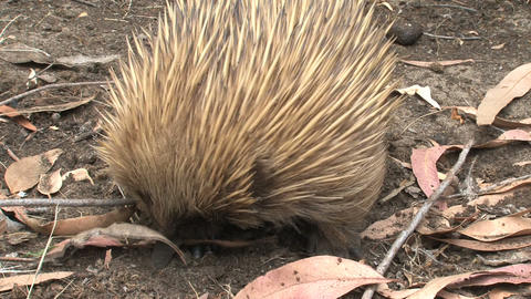 Echidna looking in and around leafs for ants and t Footage