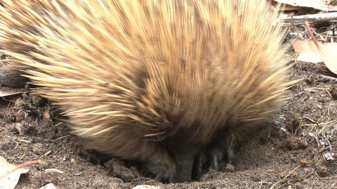 Close up from an echidna digging in the ground eat Stock Video Footage