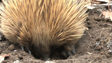 Close up from an echidna digging in the ground eat Footage
