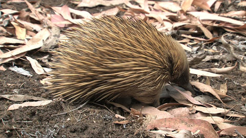 walk, away, ground, ants, termites, echidna,kangar Stock Video Footage