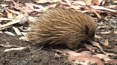walk, away, ground, ants, termites, echidna,kangar Stock Video Footage