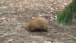 Echidna walking around and digging in the ground Stock Video Footage