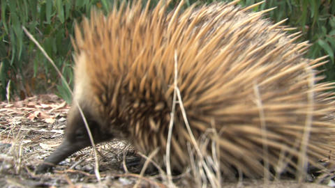 Echidna searching for food and walking Stock Video Footage
