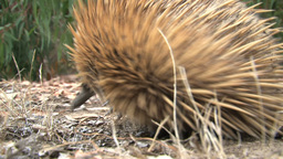 Echidna searching for food and walking Footage