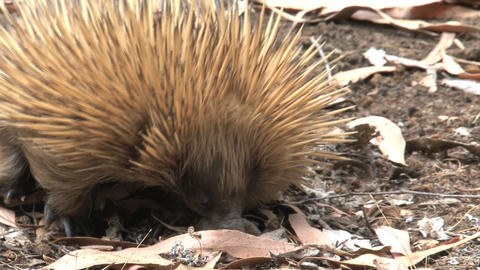 Echidna looking between the leafs Stock Video Footage