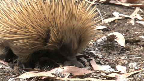 Echidna looking between the leafs Footage