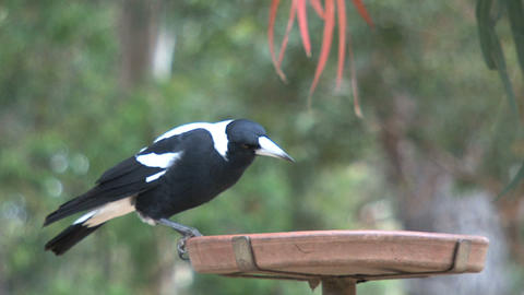 Black and white crow eating seeds Stock Video Footage