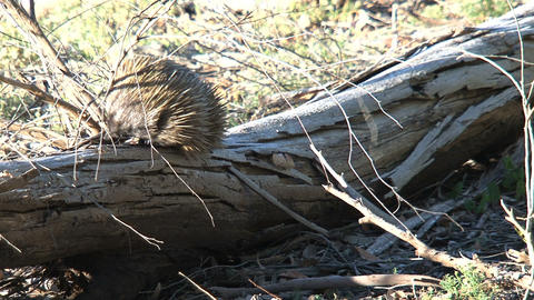 Echidna climing at a death tree searching for ants Stock Video Footage