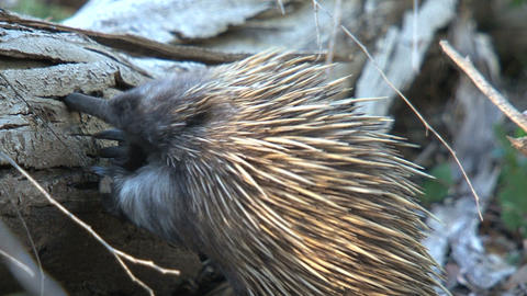 Echidna searching between a bark for ants and term Footage