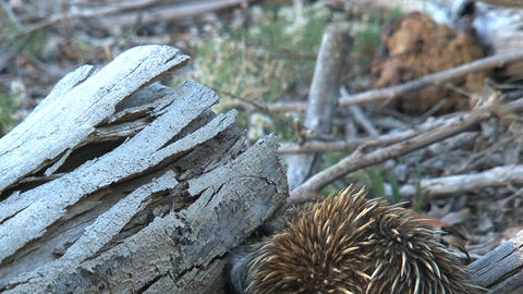 Echidna searching at a death tree for ants and ter Stock Video Footage